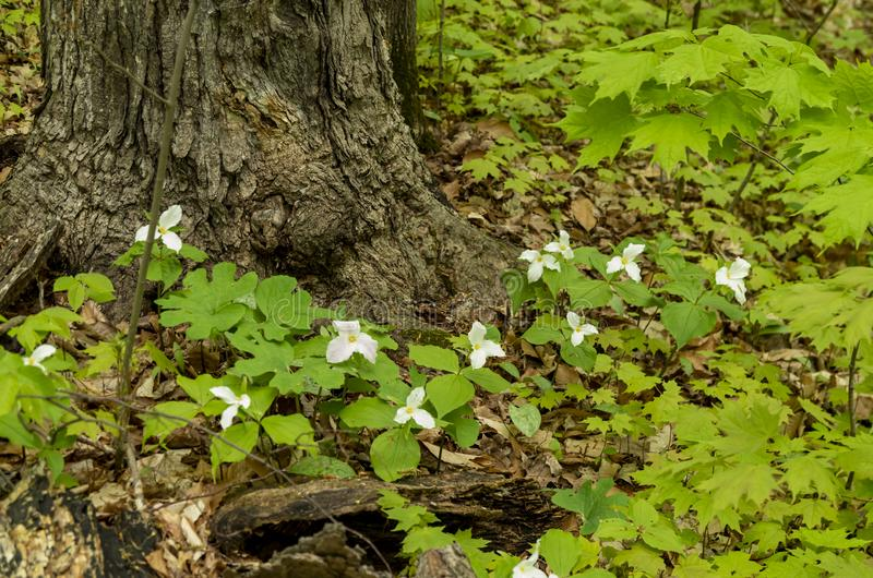 Bois 10 de Trillium photographie stock libre de droits