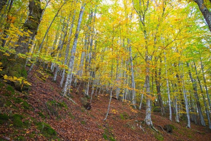 Bois en automne avec les arbres de hêtre coorful de feuilles, Italie photographie stock libre de droits