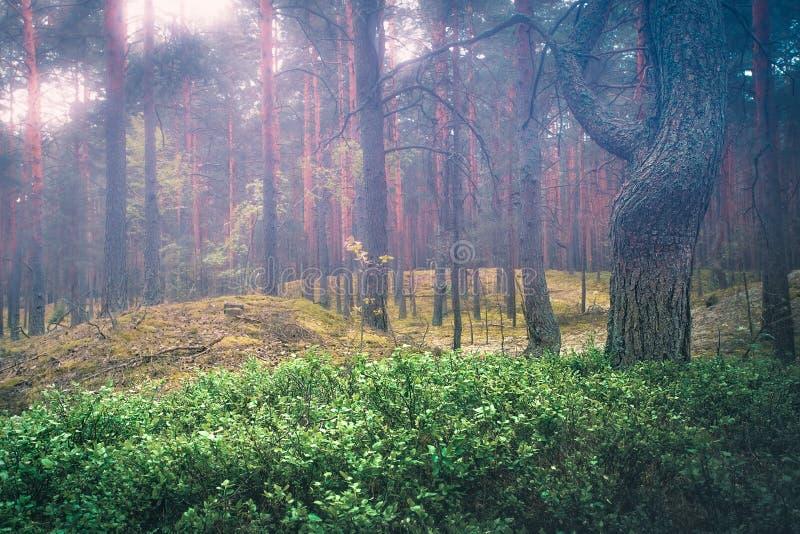 Bois féerique de forêt brumeuse de ressort dans l'heure d'été photographie stock libre de droits