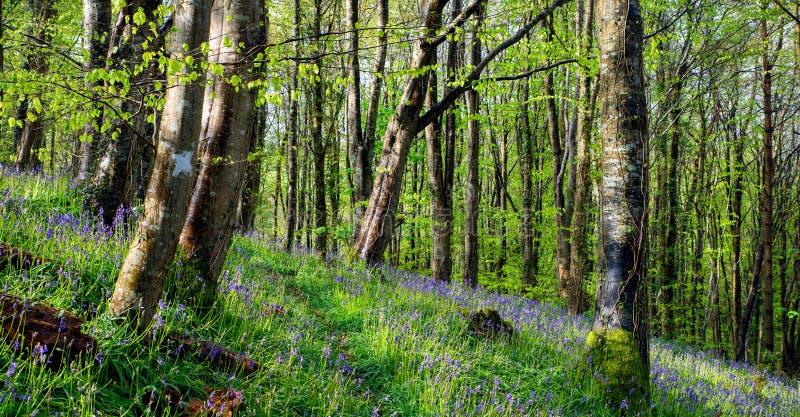 Bois magiques de jacinthe des bois photos libres de droits