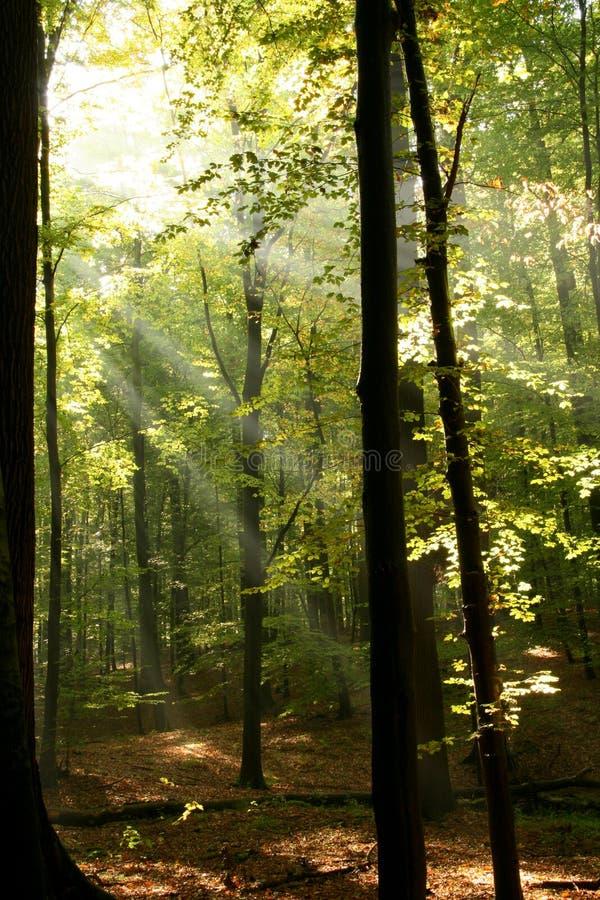 bois radiants image libre de droits