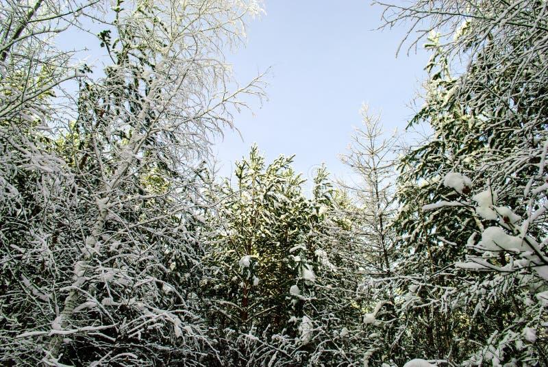 Bois sibérien pendant l'hiver photo libre de droits