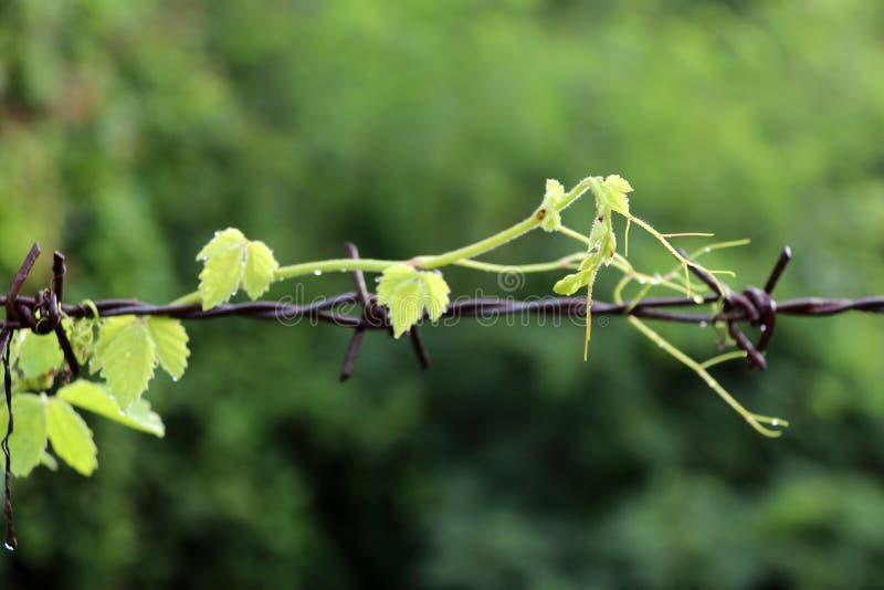 Bois supérieur vert d'arbre de plante grimpante, rampant sur le barbelé rouillé photo libre de droits