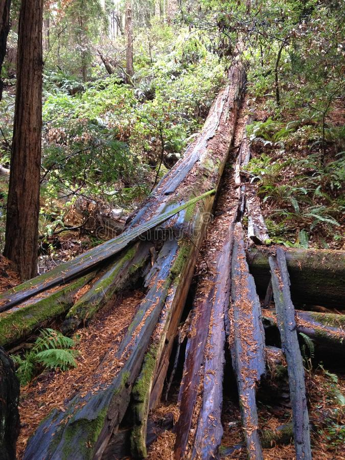 Bois tombés de rouge d'arbres grands de la Californie en bois de muir de réserve forestière de séquoia de wooods de Muir d'arbre photos libres de droits