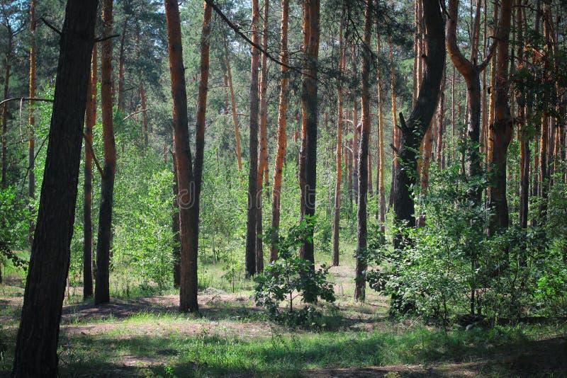 Bois verts photo teintée par forêt verte rampante de forêt verte photos libres de droits