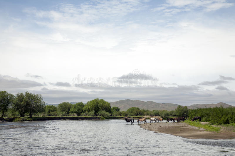 Boisson de chevaux de rivière en Mongolie images stock