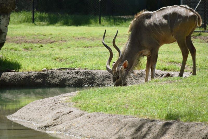 Boissons de gazelle photographie stock libre de droits