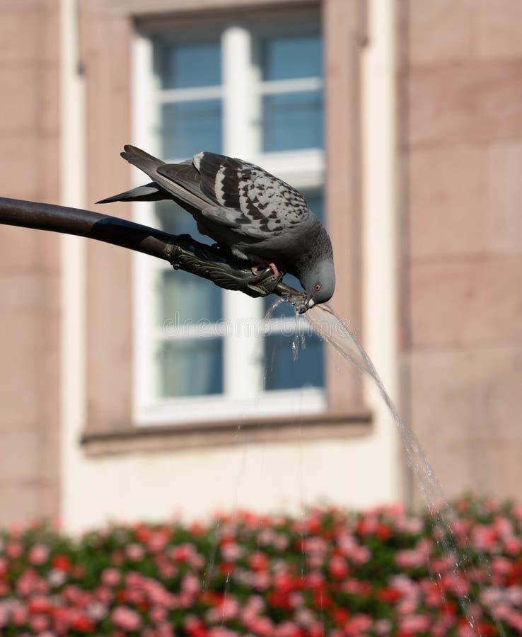 Boissons sauvages de pigeon d'une fontaine d'eau avec des fleurs à l'arrière-plan photo libre de droits