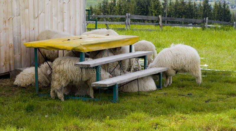 boisz się owce obraz royalty free
