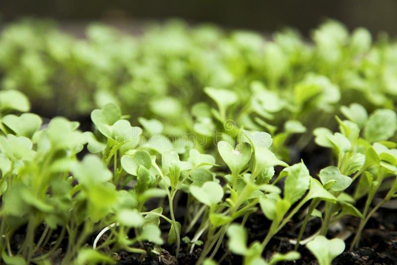 Bok choi seedling royalty free stock photo