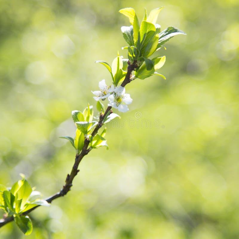Bokeh листьев зеленого цвета нерезкости цветения яблока весны на фоне, крупный план стоковая фотография rf