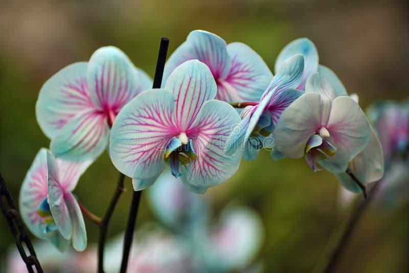 Bokeh aus Teal Colored Ground Orchid auf dem Garten stockbild