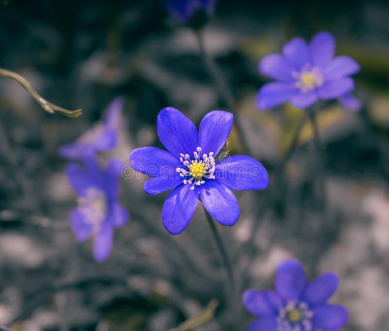 Bokeh azul dos snowdrops da mola fotografia de stock