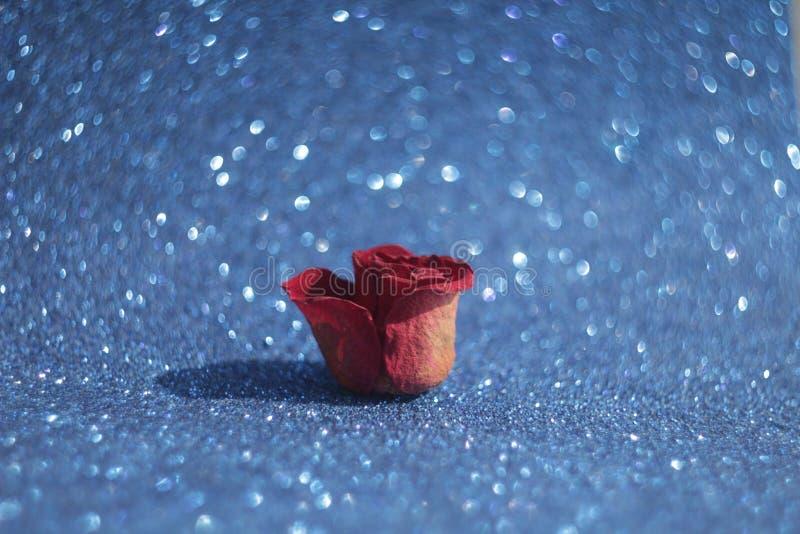 Bokeh mit der roten rosafarbenen Knospe auf blauem Hintergrund stockfoto