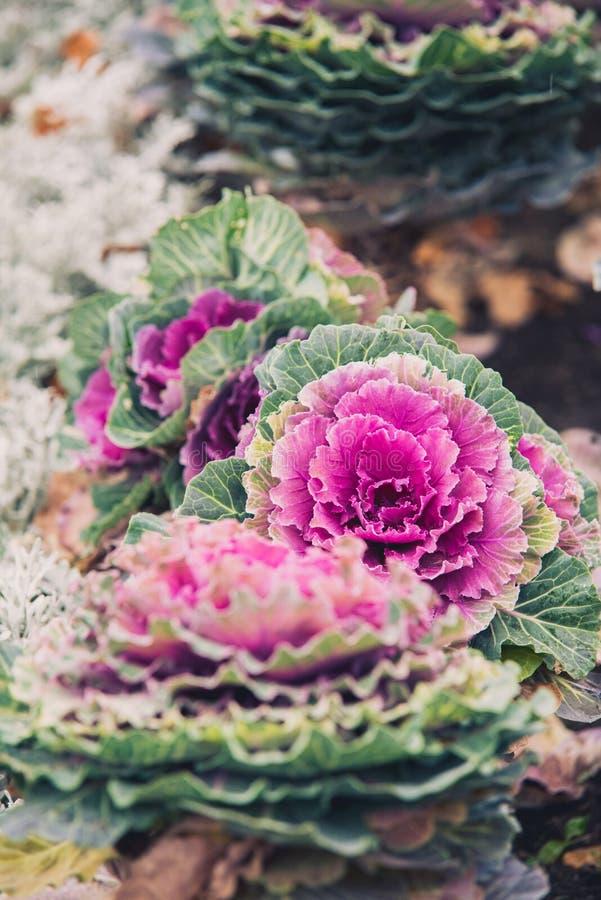 Bokeh tło purpurowa dekoracyjna kapusta, ornamentacyjne rośliny zdjęcia stock