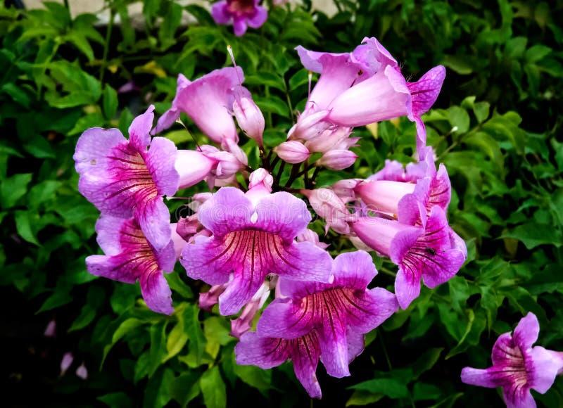Bokeh Tecoma buske, Rosa färg-växt, rosa färgblommaCloseup arkivbild