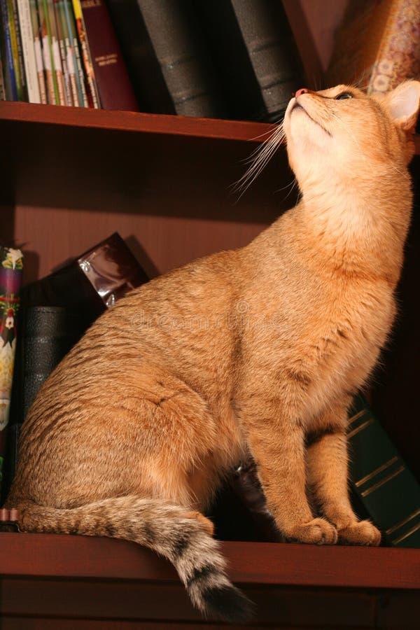 Bokkcase kitty royalty free stock images