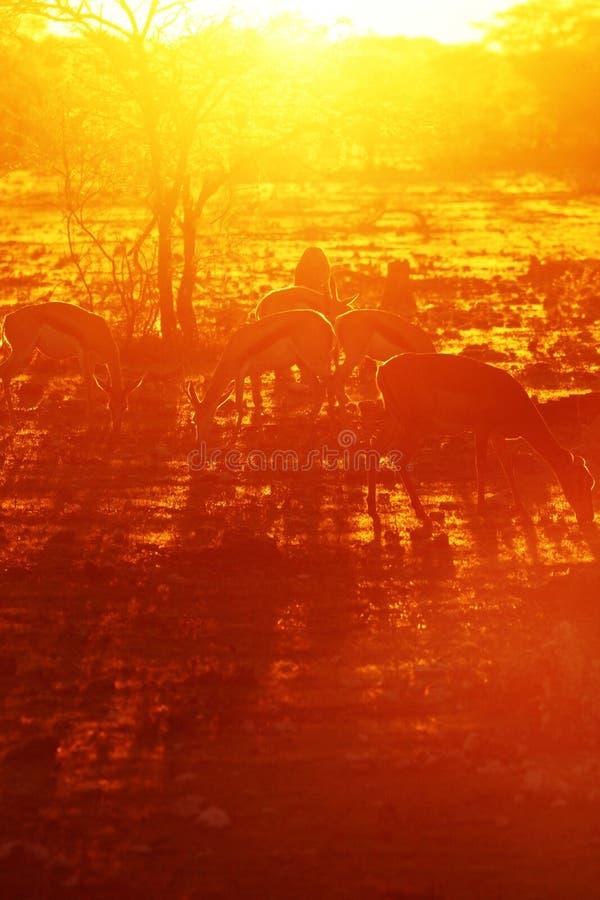 Bokkies захода солнца стоковая фотография