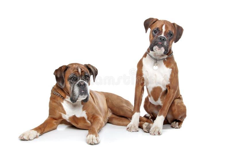 bokserów psy łaszą się równinę dwa zdjęcie royalty free