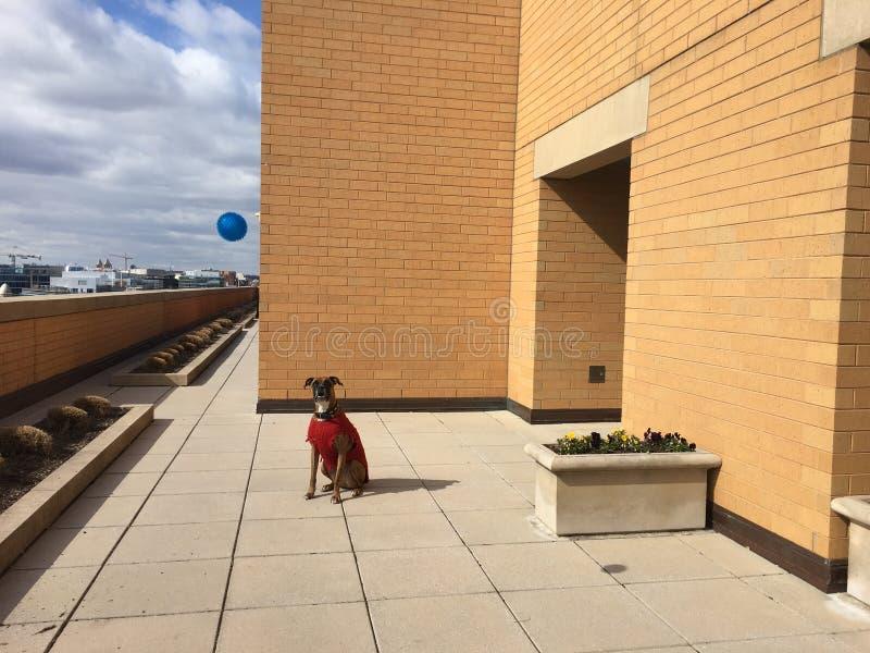 bokserhond op een stedelijke lanscape royalty-vrije stock foto