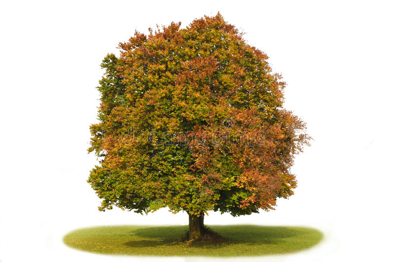 bokträd isolerad enkel tree royaltyfri fotografi