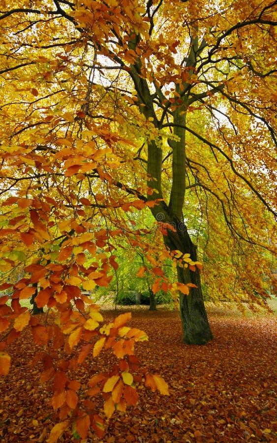 Bokträdet i parkerar royaltyfri foto