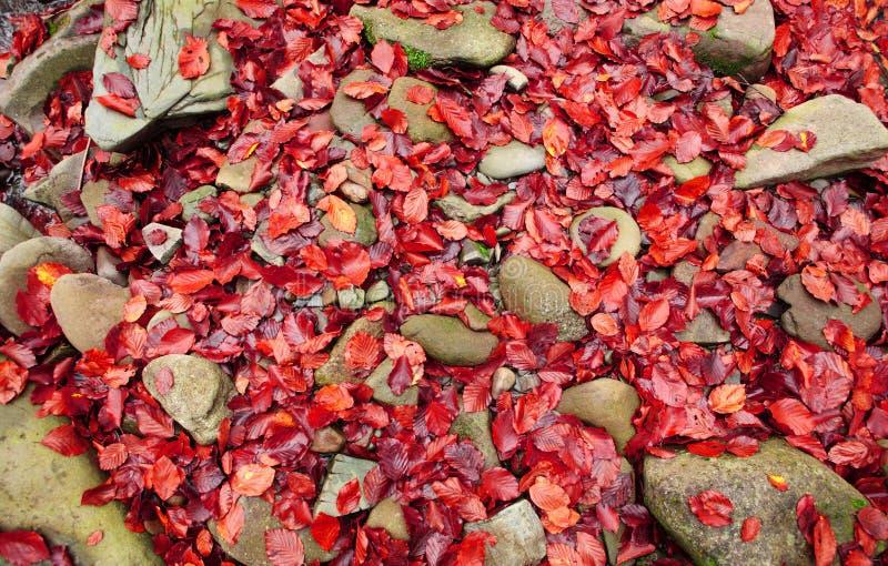 Bokträdet lämnar på en årlig sten arkivfoton