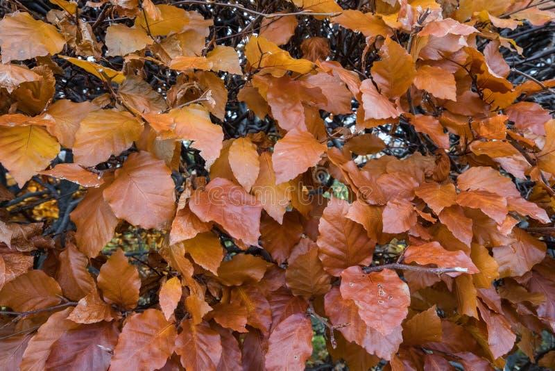 BokträdFagussylvatica Höstsidor på en häck, Fagussylvatica royaltyfria bilder