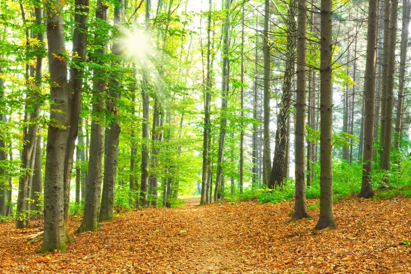 Download Bokträdskog arkivfoto. Bild av lantligt, lampa, fall - 27288478
