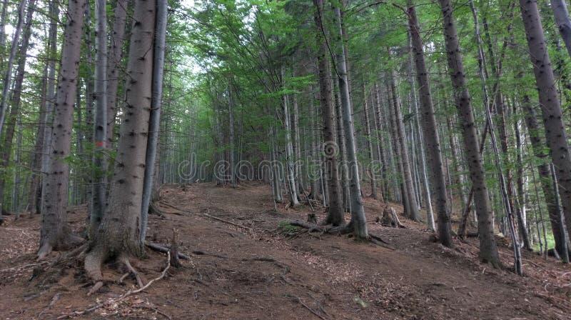 Bokträdskog, Bucegi berg, Rumänien royaltyfria bilder