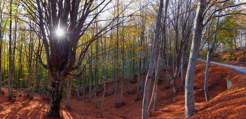 Bokträdskog i höst royaltyfria foton
