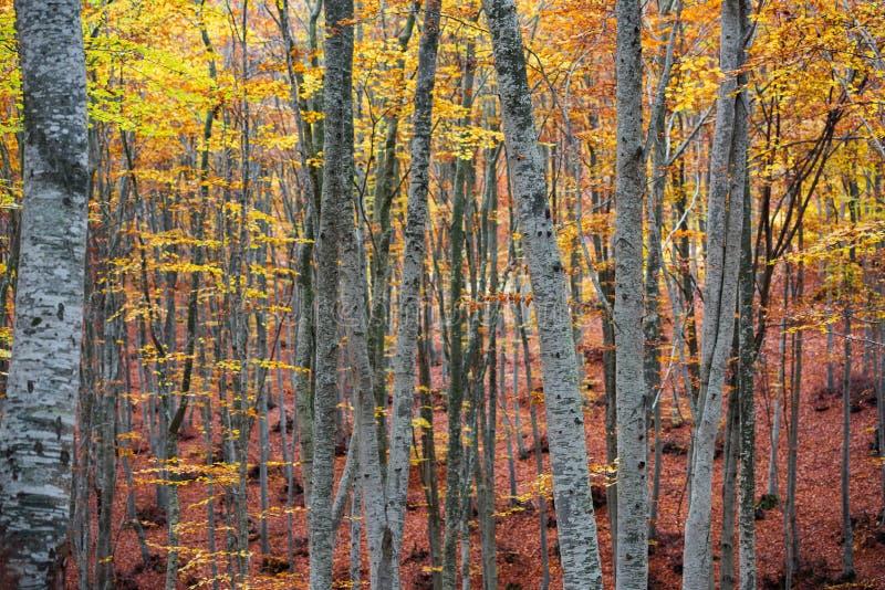Bokträdskog i höst royaltyfria bilder
