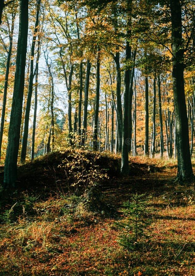 Bokträdskog i höst fotografering för bildbyråer