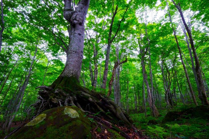 Bokträdskog, Shirakami Sanchi, Japan. royaltyfri foto