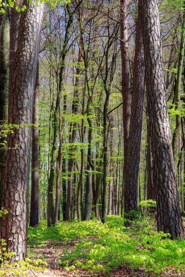 Bokträdskog under vårtid royaltyfri fotografi