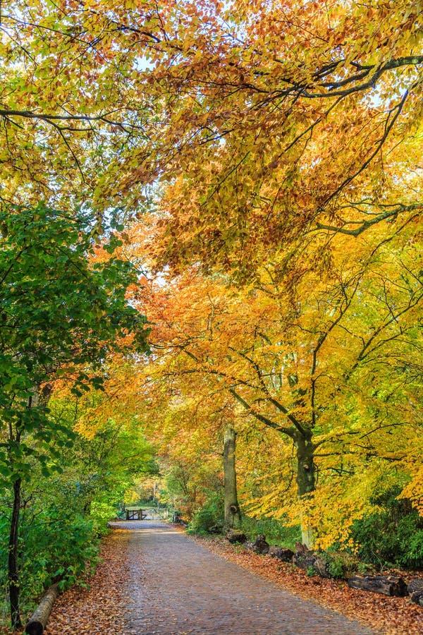 Bokträdträd med bladet i höst färgar i naturlig skog längs en stenlagd väg royaltyfria bilder