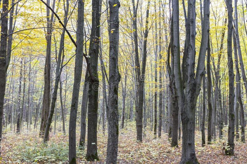 Bokträdträd och stupad lövverk i höst parkerar arkivfoto
