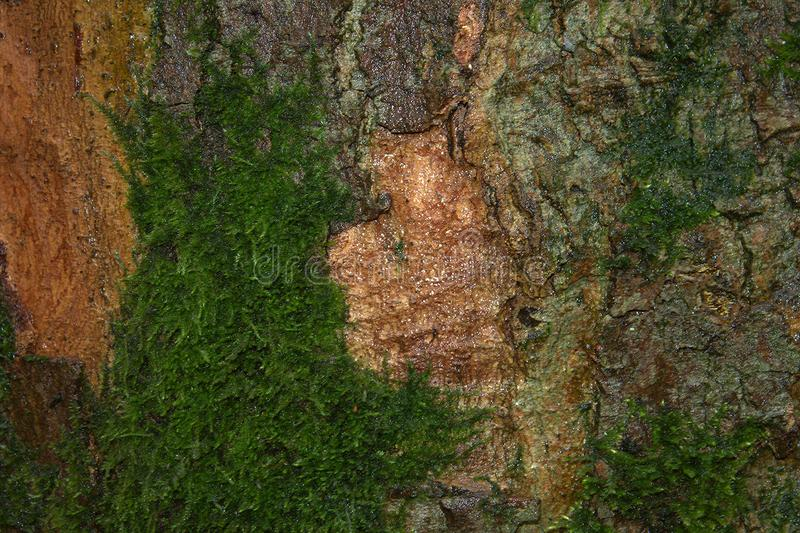 Bokträdträdskäll med den texturerade modellen royaltyfria foton