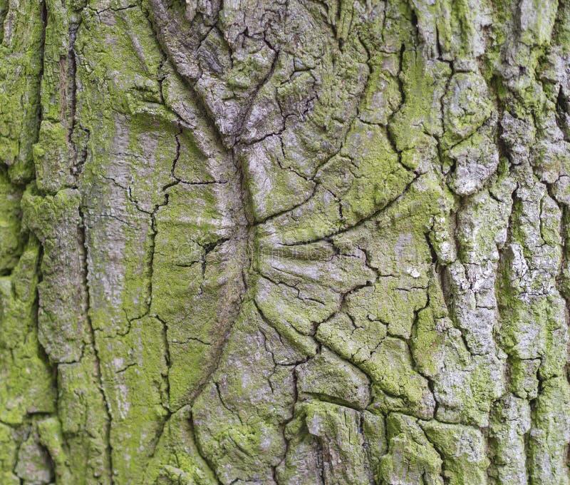 Bokträdträdskäll som täckas av backgroun för textur för mossadetalj naturlig royaltyfri bild