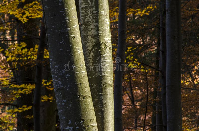 Bokträdträdstammar i höst arkivfoto