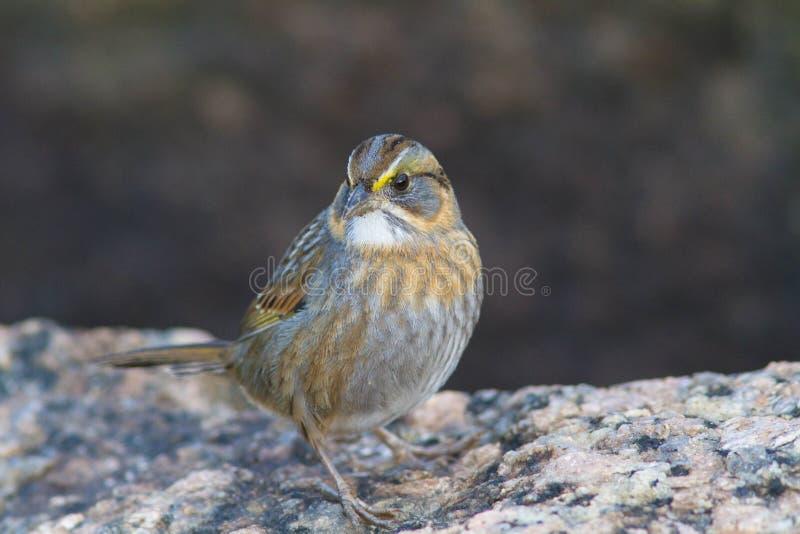 Bolívarvlakten Savannah Sparrow royalty-vrije stock foto