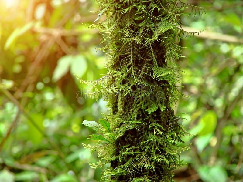 Bolívia - árvores velhas da samambaia no parque nacional Amboro imagem de stock