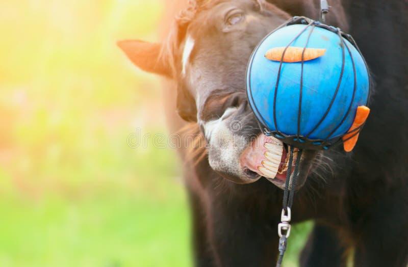 Bola azul del juego negro del caballo con las zanahorias imagen de archivo