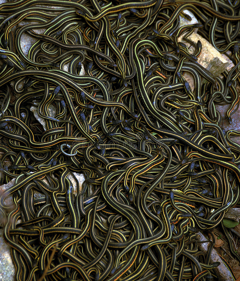 Bola de acoplamiento de las serpientes de liga fotos de archivo libres de regalías
