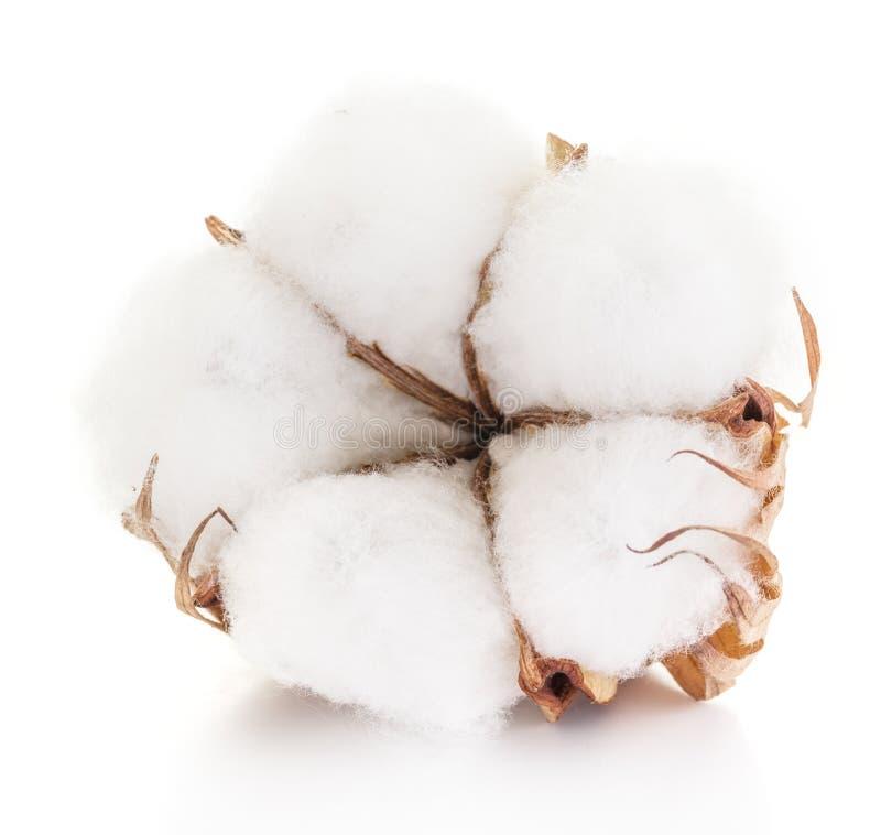 Bola de algodão macia da planta de algodão foto de stock royalty free