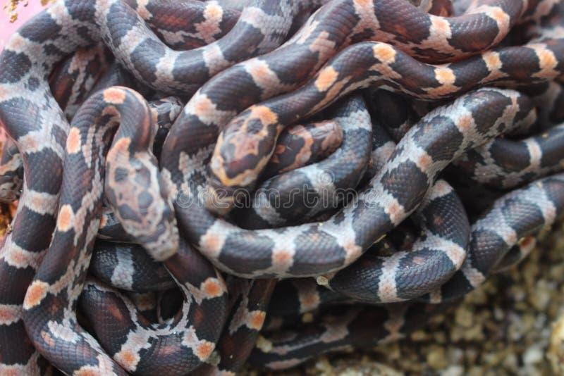 Bola de serpentes do bebê fotografia de stock royalty free