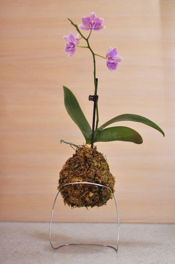 Bola del musgo de Kokedama con phalaenopsis rosado de la orquídea fotos de archivo
