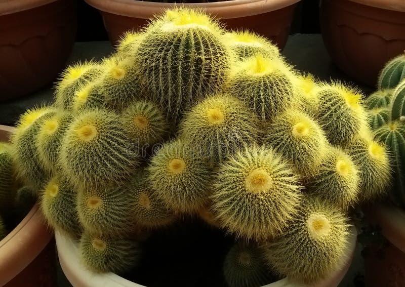 Bola fina del cactus de la espina imagen de archivo libre de regalías