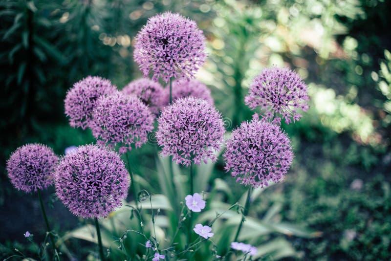 Bola púrpura del diente de león del color y flores azules minúsculas foto de archivo libre de regalías