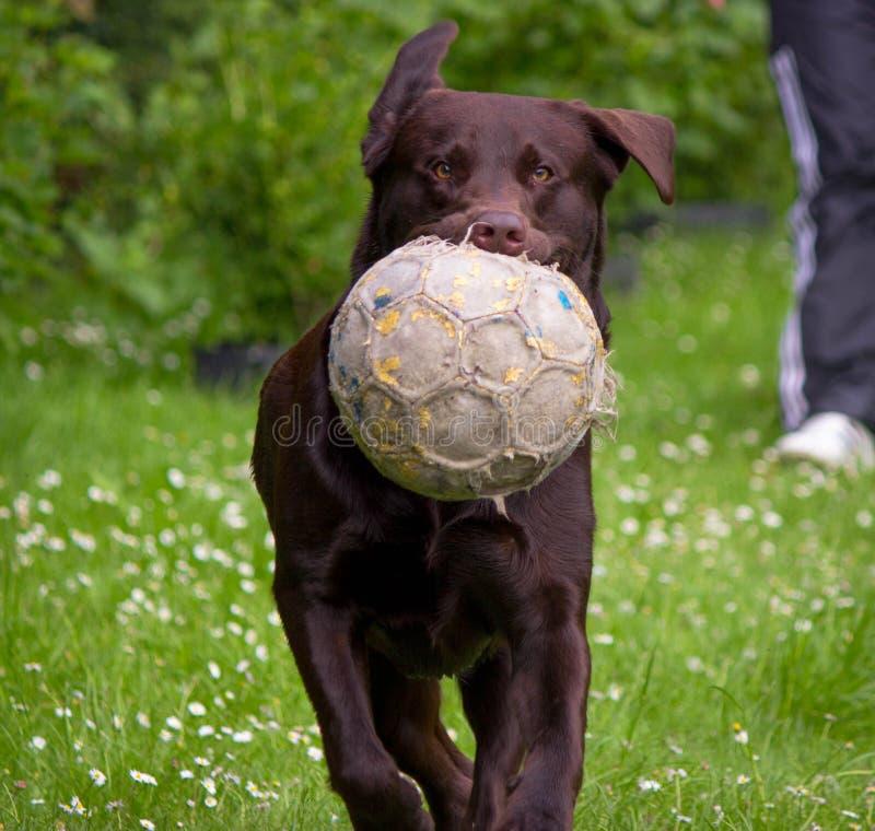 Bola y perro de fútbol fotografía de archivo libre de regalías
